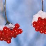 Калина красная, лечебные свойства, рецепты