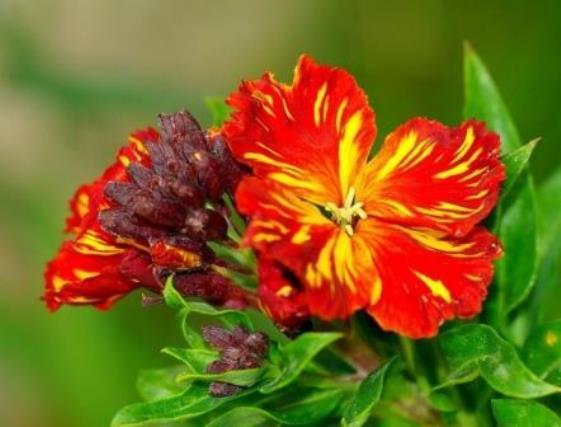 Лакфиоль - ароматный цветок