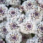 Цветы иберис, выращивание