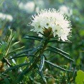 Лечебные травы: алтей, багульник, березовые почки