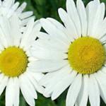 Лечебные растения: Полынь, Ромашка и Рябина.