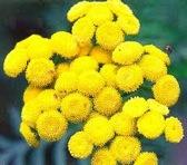 Лекарственные растения: Первоцвет, Пижма и Подорожник.