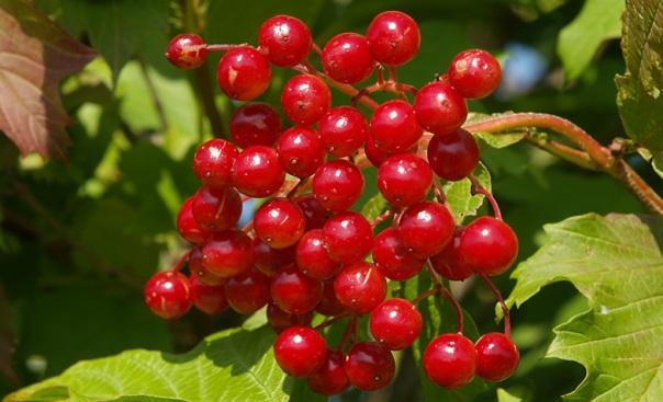 Лечебные растения: Калина, Кукурузные рыльца, Липа, Лопух большой