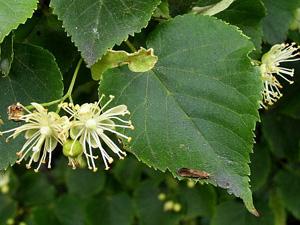 Лечебные растения: Калина, Кукурузные рыльца, Липа, Лопух большой.
