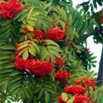 Лечебные растения: Полынь, Ромашка и Рябина