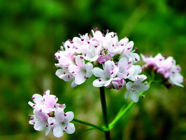 Лечебные травы: Валериана, Девясил, Душица