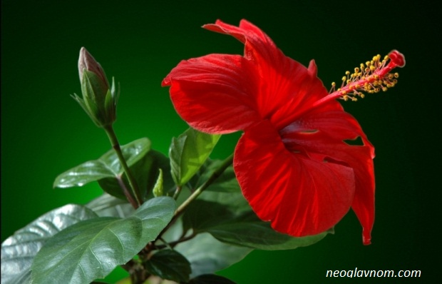 Китайская роза или гибискус цветок