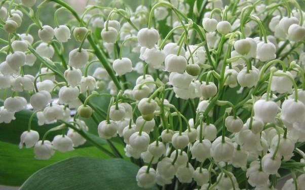 ландыш майский - целебный цветок