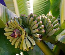 Полезные факты о бананах (китайский банан).