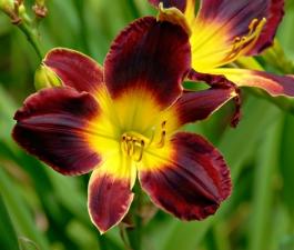 Цветы - красивая пища. Красоднев