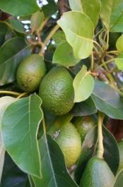 авокадо-аллигаторова груша