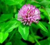 Клевер - лекарственное растение
