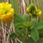 Клевер - лекарственное растение.