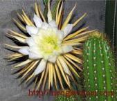 съедобные кактусы на нашем столе