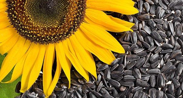 польза жареных семечек